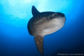 ocean-sunfish