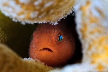 Redhead Coral gobie - Paragobiodon Echinocephalus