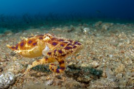 blue ringed octopus near eel garden.