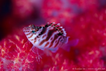 threadfin hawkfish resting on soft coral
