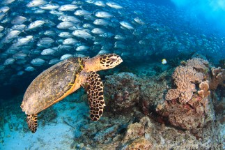 Hawksbill Turtle and Big-eye trevally at Sipadan, Barracuda point