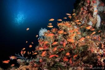 Anthias, Southern Maldives