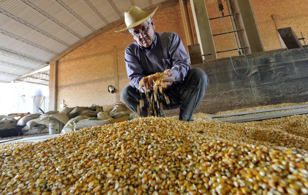 Un agricultor examina maíz transgénico en Paraguay