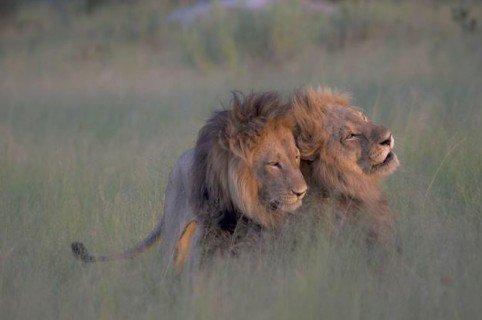 leones-apareandose-nicole-cambre-twitter-482x320