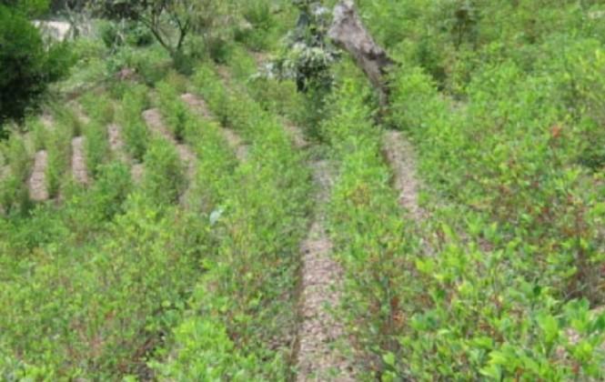 Gobierno se comprometió ante la ONU a recoger la totalidad de la producción de coca legal