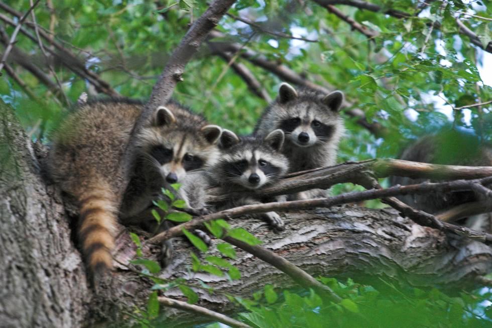 El mapache está entre los mamíferos que portan más zoonosis.