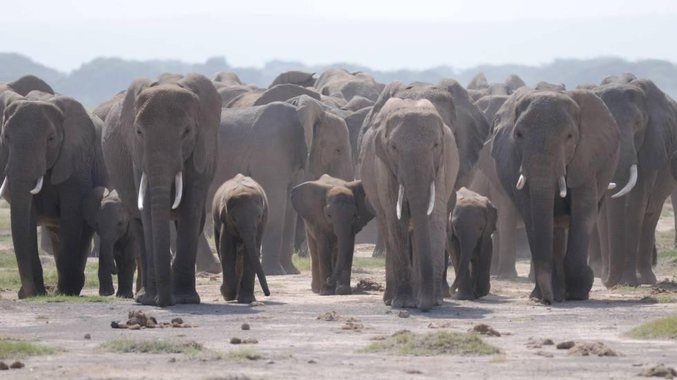 los elefantes macho adolescentes abandonan su familia.
