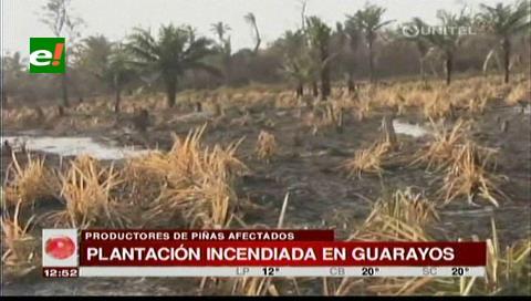 Incendio forestal afecta a toda una plantación de piñas en Guarayos