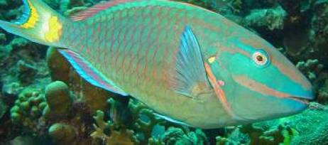 Imagen de un pez loro.