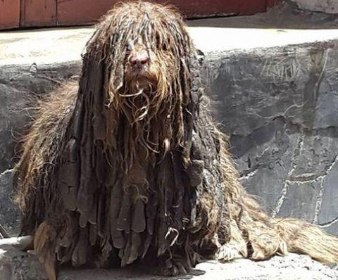 Choco, el perro rasta de Pura Pura, antes de que fuera al peluquero y al veterinario