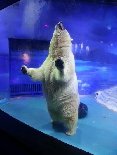 El oso polar vive en una pecera, en un espacio muy limitado (AFP).