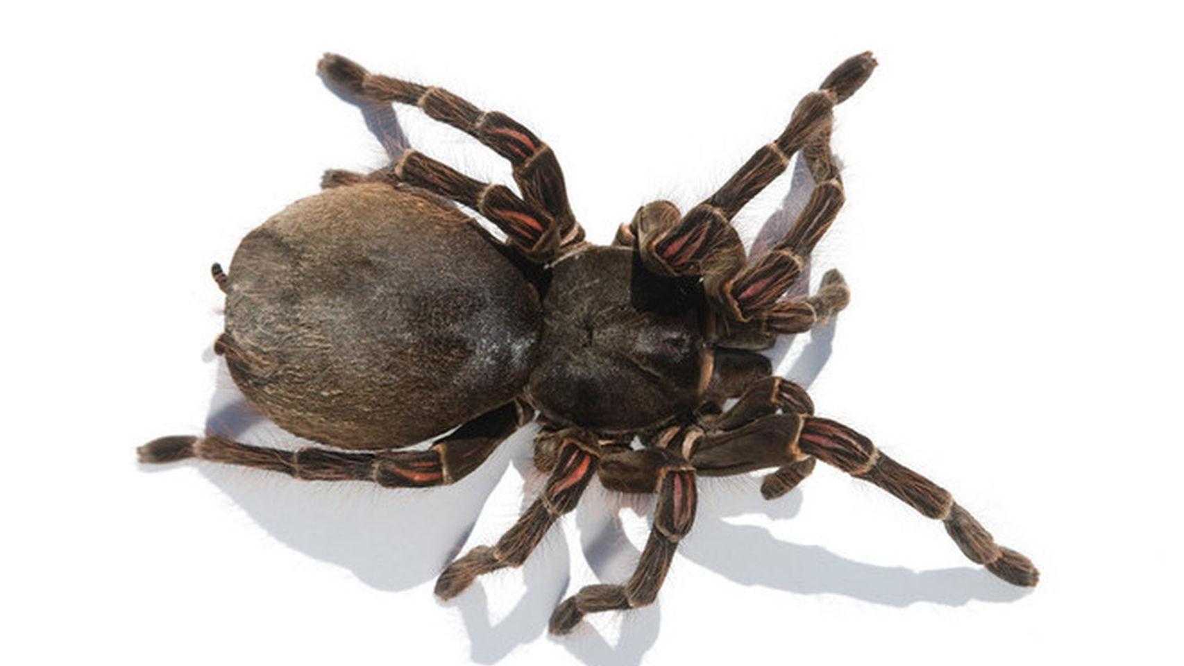 La araña más grande