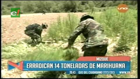 Cochabamba: Destruyen 14 toneladas de marihuana en Mizque