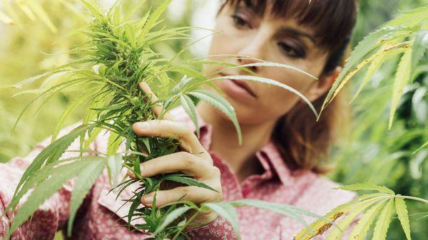 """""""No existe la posibilidad de estas actividades, de ese tipo de catas o de reuniones, que hacen algo que la ley prohíbe explícitamente, que es la promoción (de la marihuana)"""", explicó Olivera (Shutterstock)"""