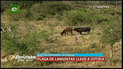 Plaga de langostas afectó a dos propiedades lecheras de Cotoca