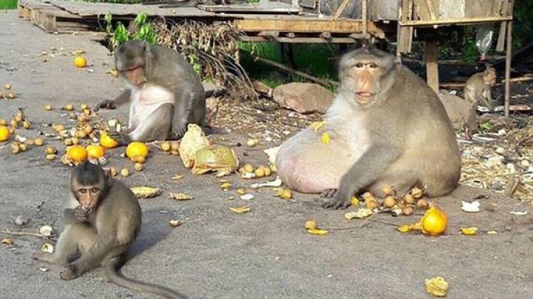 """Viejo y sedentario, """"Tío Gordo"""" mantenía a los monos más jóvenes a su disposición para que les trajeran comida que luego redistribuía con la comunidad"""