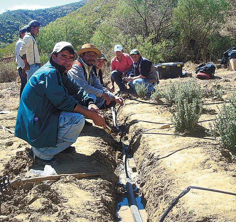 Agua. Productores de orégano revisan sistema de riego por goteo.