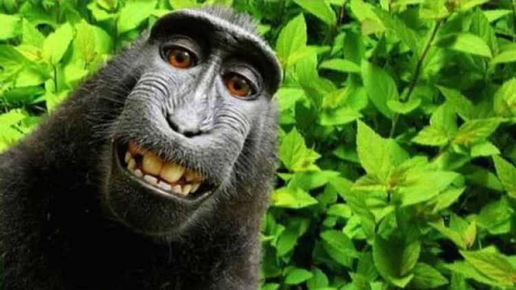 Naruto, el mono al que PETA quiere atribuirle el derecho de autor (David Slater)