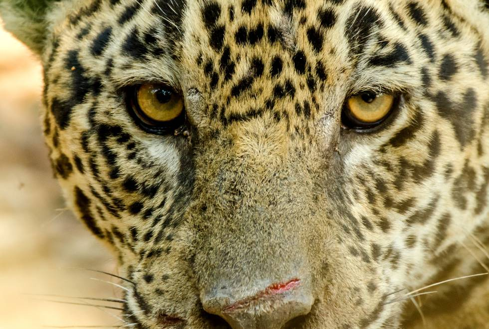 El estudio ha secuenciado el genoma del jaguar por primera vez.