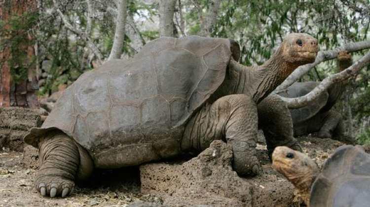 """La tortuga gigante de Pinta habitó el planeta durante milenios, pero fue declarada extinta en 2012. Estudios advierten que la Tierra está experimentado una gran disminución de sus poblaciones, lo que tendrá consecuencias negativas en el ecosistema"""" (Reuters)"""