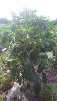 protección cultivos 3