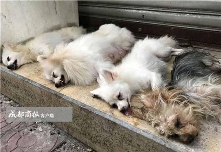 Así quedaban los perros tras la operación (Chengdu Business Daily)