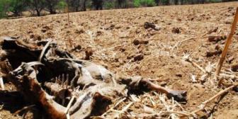 Cochabamba: mueren unos 80 ejemplares de ganado por sequía en Pasorapa