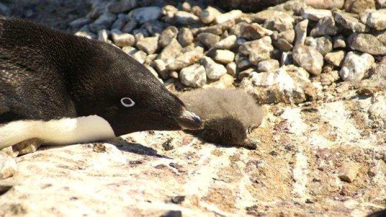 Uno de los pingüinos Adèlie, junto a su cría muerta.