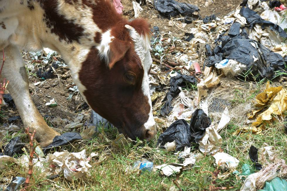 Una vaca come hierba en una zona llena de bolsas de plástico en Ngong (Kenia).