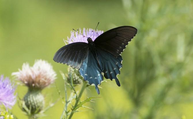 Las mariposas mejoran la tecnología de los paneles solares