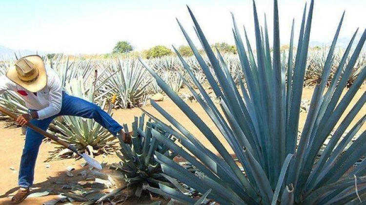 Agave, la planta que es materia prima del tequila