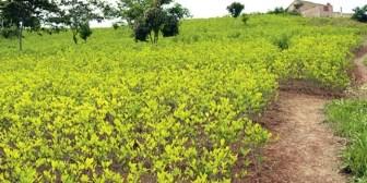 "Evo advierte a benianos que ""les va a ir mal"" si cultivan coca"