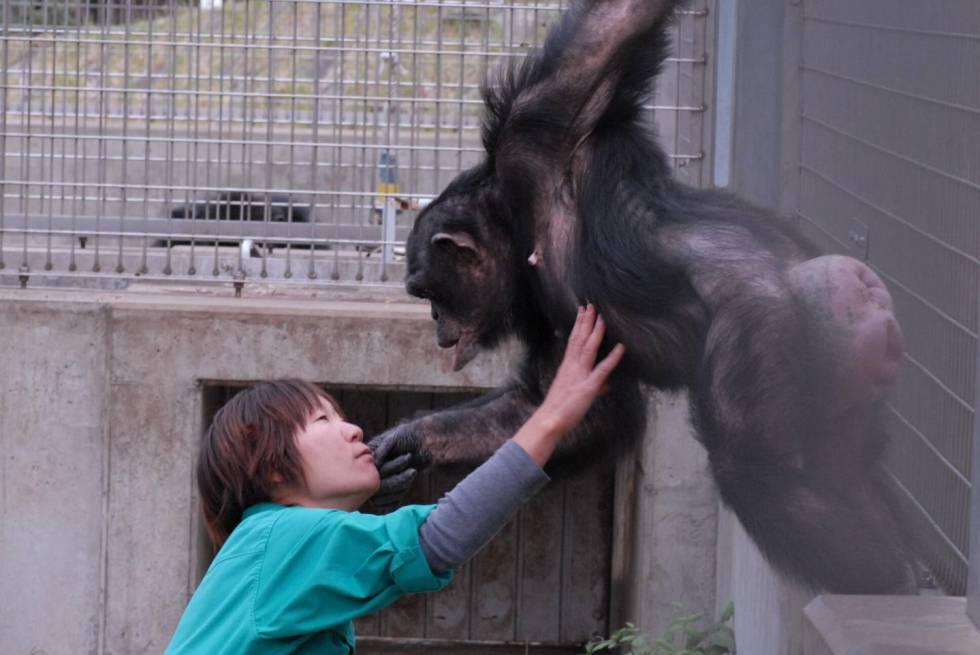 Una cuidadora juega con un chimpancé en un centro de primates de la Universidad de Kioto.