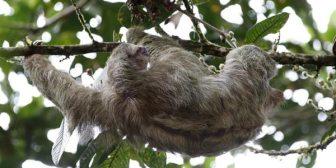 Encontraron el fémur de un oso perezoso gigante en exploraciones en el norte de Colombia