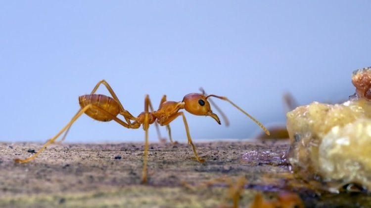 En el caso del componente que contenía sustancia de la hormiga ladrona, la bacteria no aumentó de tamaño (Istock)