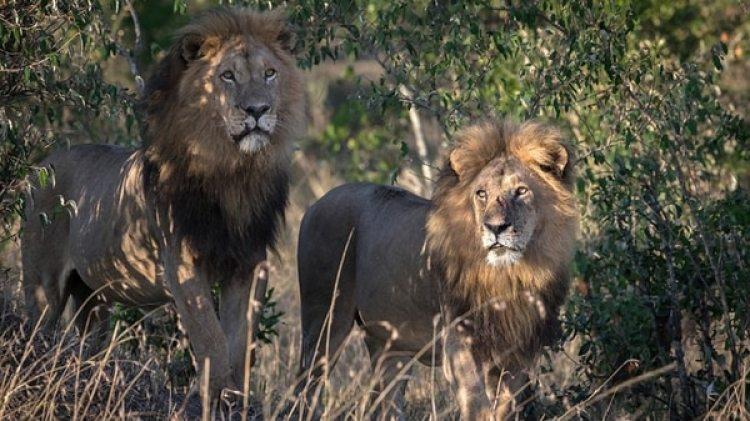 Los leones casi no dejaron nada del cazador furtivo