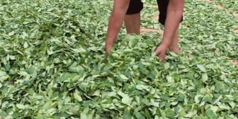UE considera coyuntural el incremento de cultivos de coca