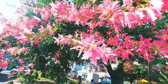 Los toborochis están floreciendo hasta cuatro veces para sobrevivir