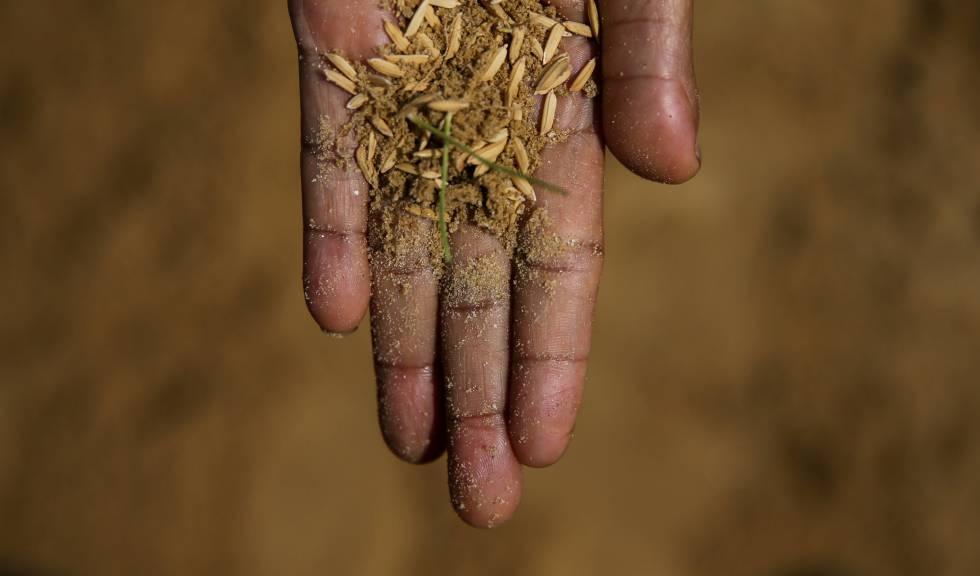 Semillas de arroz.
