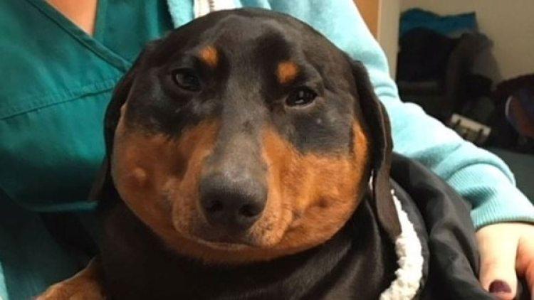 Trevor en su peor momento: cuando una herida en la tráquea casi termina con su vida (Willows Veterinary Group)