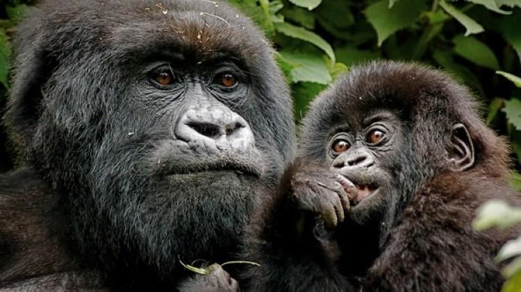 Varios grupos proteccionistas están preocupados por el peligro que se enfrentan los gorilas en los parques nacionales de Virunga y Salonga, donde se permitirían las operaciones de búsqueda de crudo (IStock)