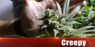 Fuerza antidroga reporta primer secuestro de marihuana 'Creepy weed' en Cochabamba