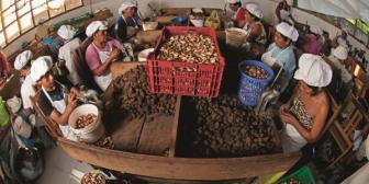 Bolivia exportará seis mil toneladas de castaña a China
