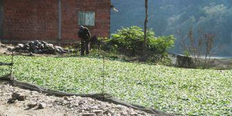 La ONUhace nuevo estudio para identificar el destino de la coca boliviana
