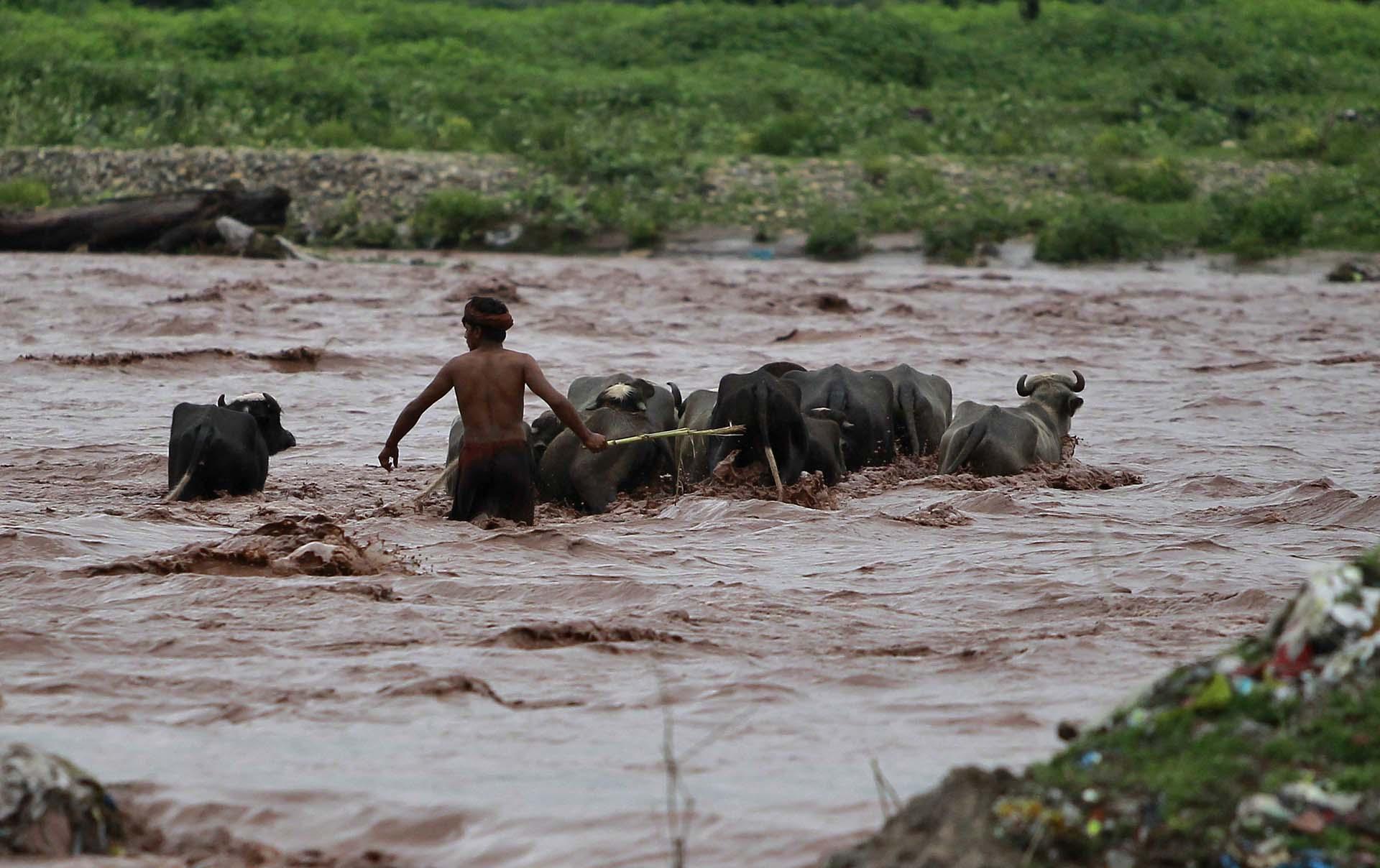 Un hombre saca a sus búfalos del agua (AP Photo/Channi Anand)