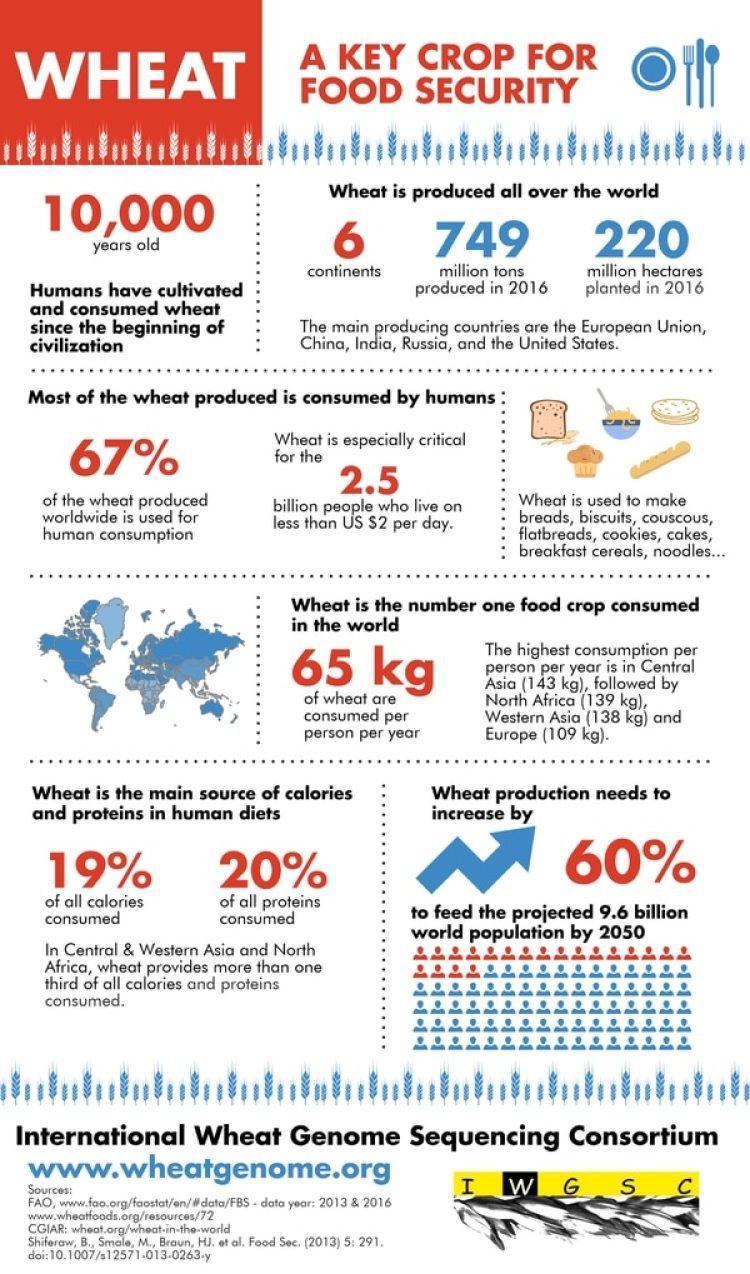 El trigo es el principal cereal en el mundo, hoy cultivado en 220 millones de hectáreas en seis continentes