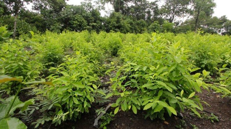 Según cifras de Estados Unidos, Colombia alcanzó en 2017 su récord histórico de cultivos ilícitos, con 209.000 hectáreas sembradas.