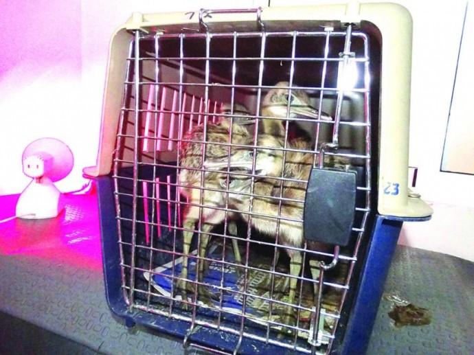 RECUPERACIÓN. Las aves fueron trasladadas a una veterinaria para que reciban atención especializada.