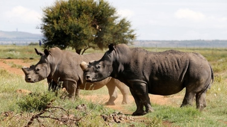 Rinoceronte negro (REUTERS/Siphiwe Sibeko)