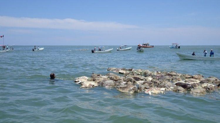 Las golfinas estaban atrapadas en redes de pesca